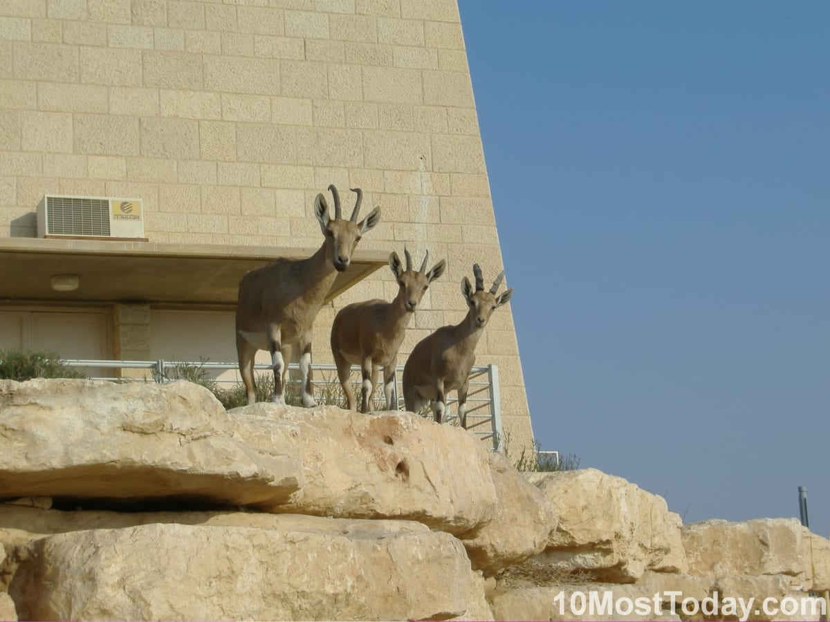 Three synchronized nubian ibexes (a specie of desert-dwelling goat) in the Negev desert, southern Israel