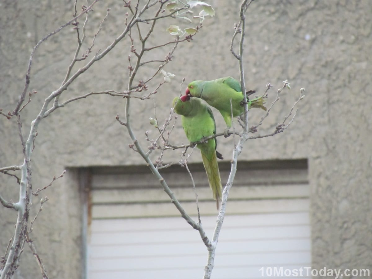 Two Rose Ringed Parakeets sharing food, Tel Aviv, Israel