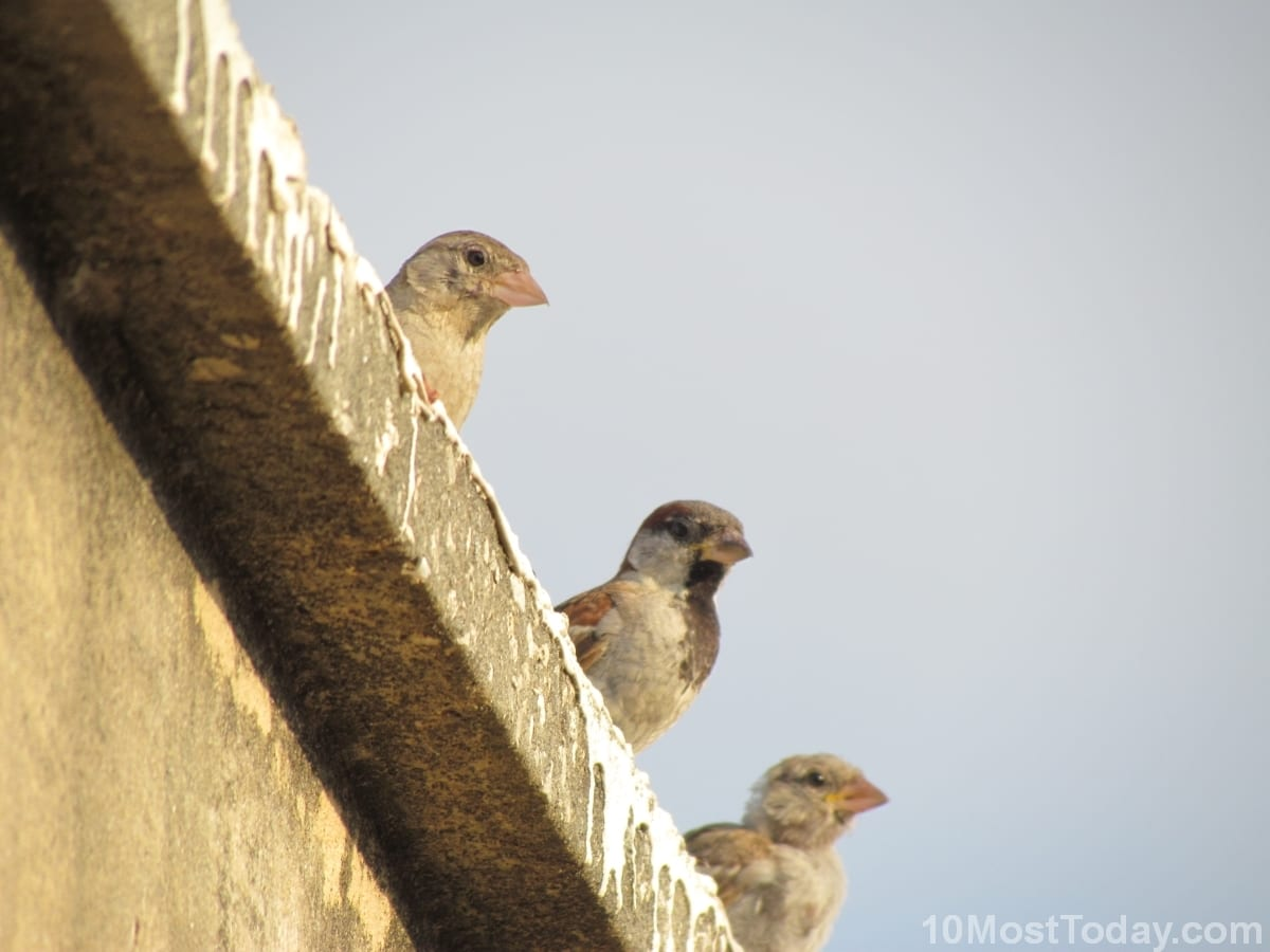 Three House sparrow birds on the lookout, Tel Aviv, Israel