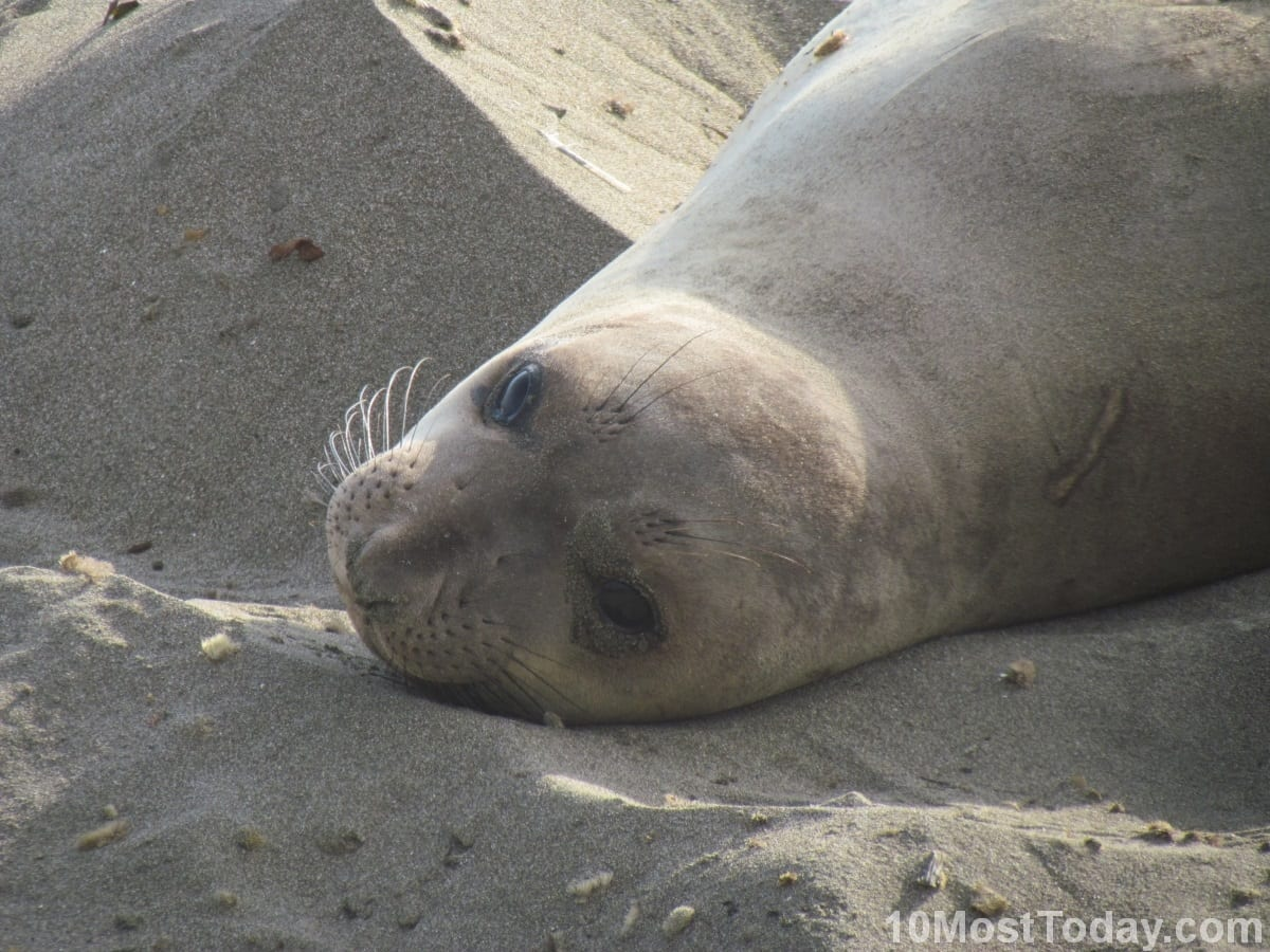 A female Elephant Seal, along Route 1, California