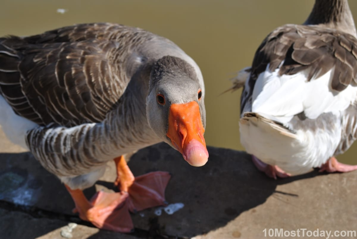 Ducks asking for some (more) food