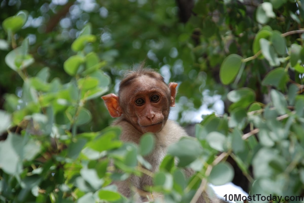 A curious monkey between the trees, Bangalore, India