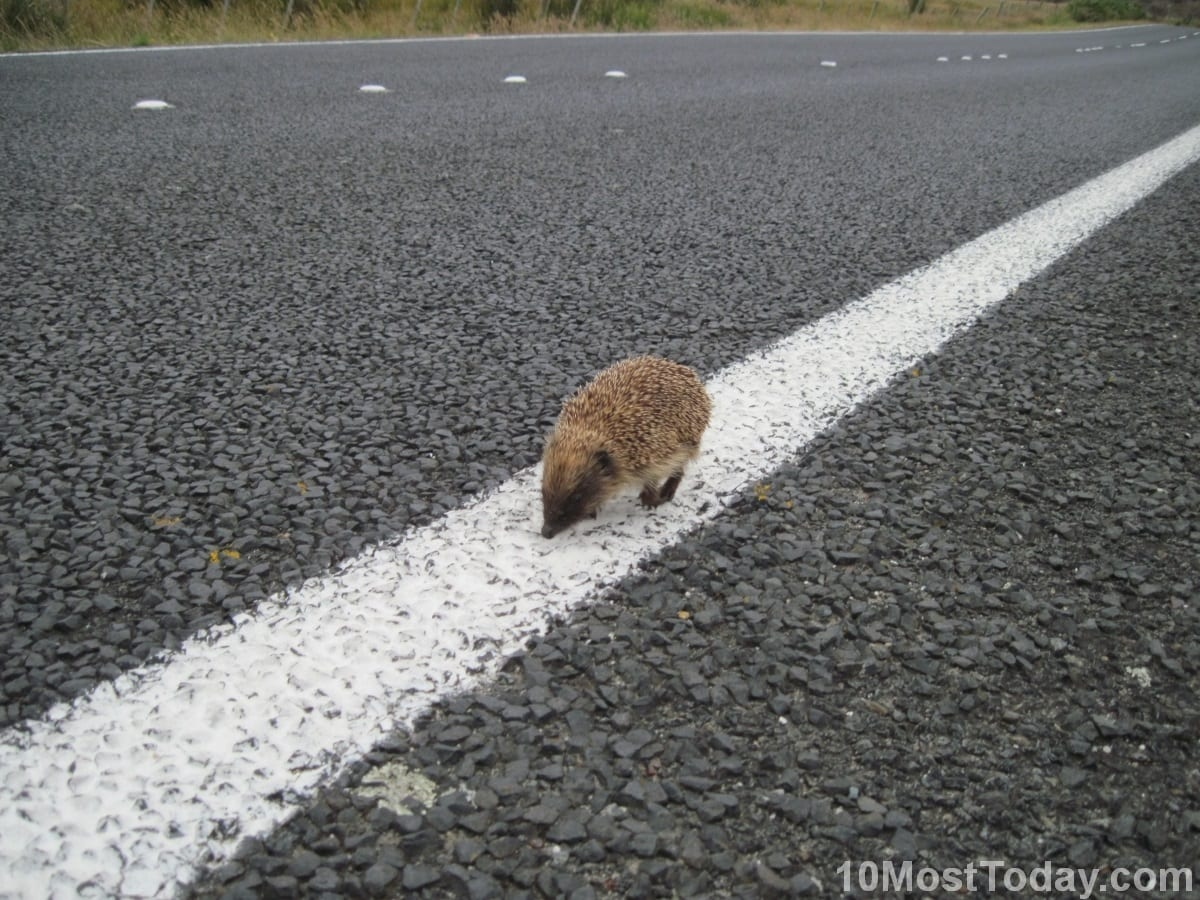 A Porcupine walks the line, South Island, New Zealand