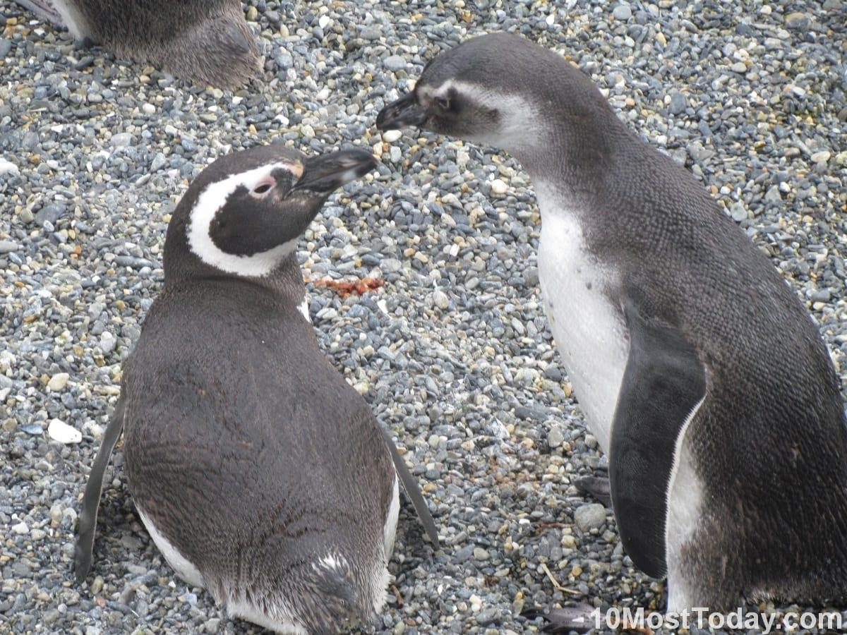 Pinguins in discussion, Ushuaia, Argentina