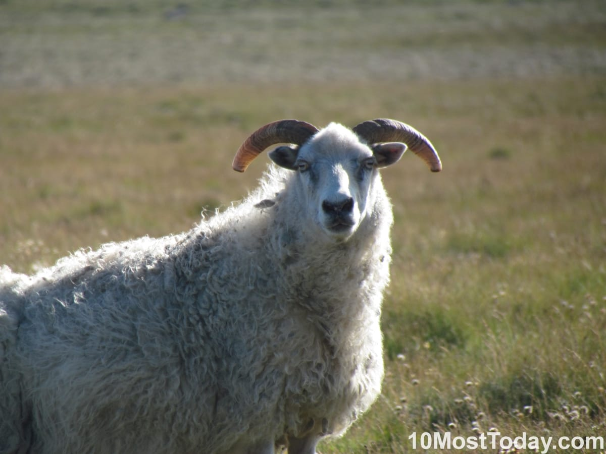 One very well focused sheep, Iceland