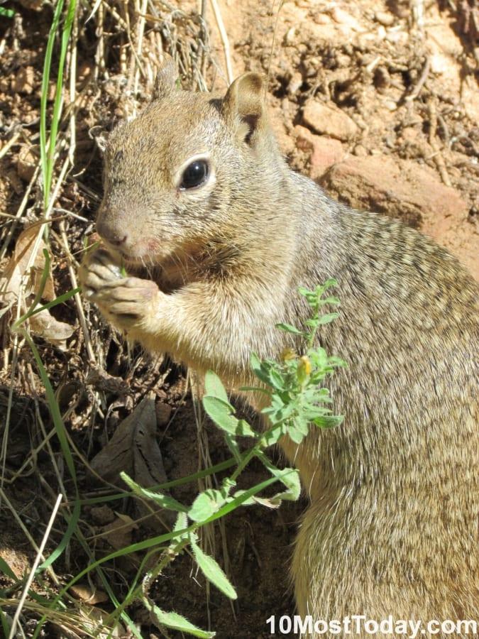 An scheming squirrel in Zion National Park, Utah
