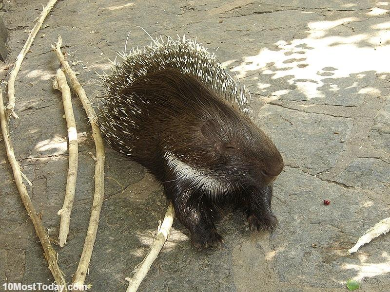 Coolest Spiny Animals In The World: Porcupine