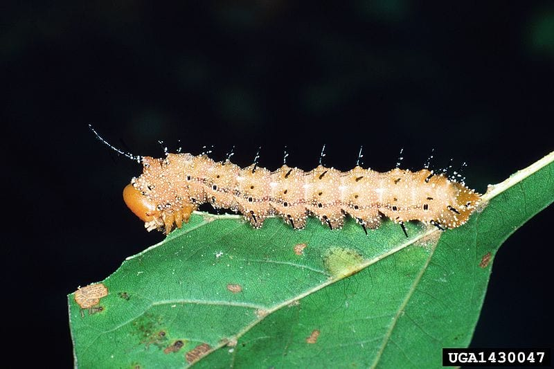 Coolest Spiny Animals In The World: Spiny Oakworm Moth