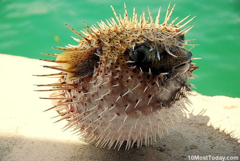 Coolest Spiny Animals In The World: Porcupinefish