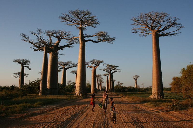 Most Amazing Trees In The World:  Avenue of the Baobabs, Madagascar