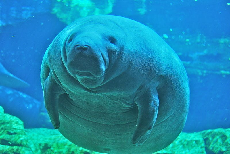 Slowest Animals In The World: Manatee (Sea cow)
