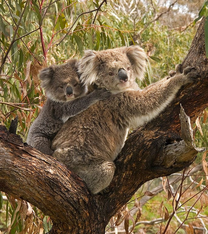 Slowest Animals In The World: Koala bear