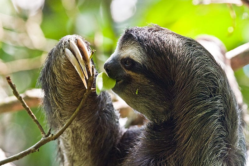 Slowest Animals In The World: Sloth