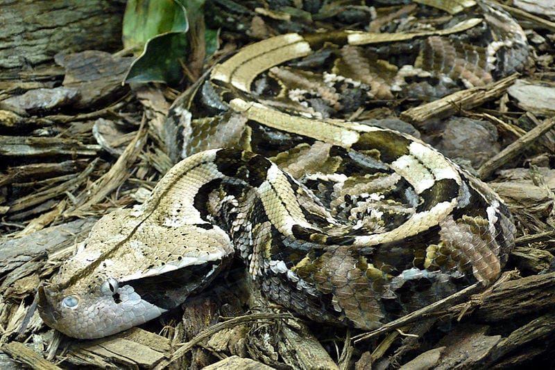 A camouflaged Gaboon Viper