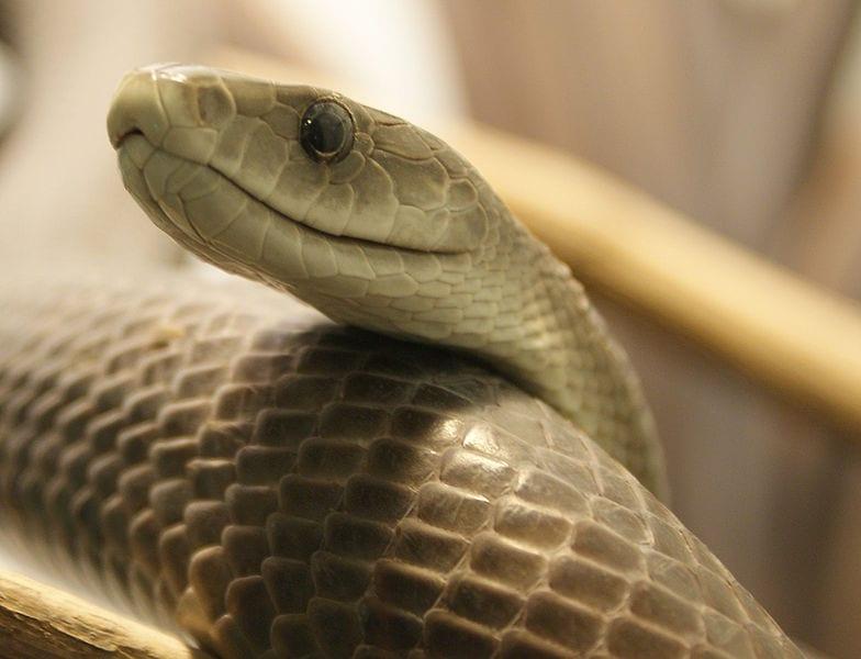 The fastest snake: Black Mamba