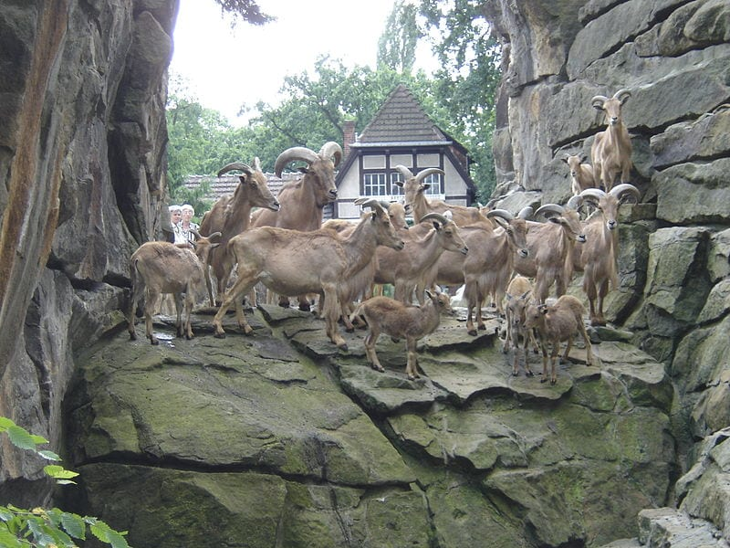 A large and healthy pack of Ibexes in the Berlin Zoo
