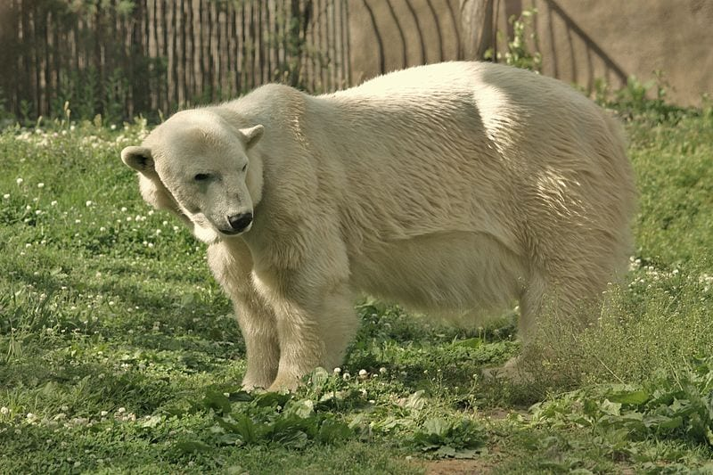 A Polar bear in the Philadelphia Zoo