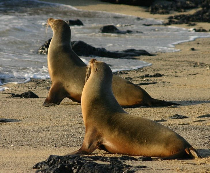 Galápagos sea lions on Isabela Island, the Galapagos