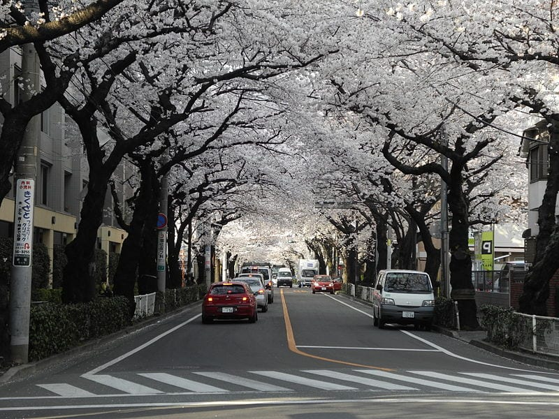 Most Amazing Trees In The World: Cherry Blossom in Musashino, Tokyo