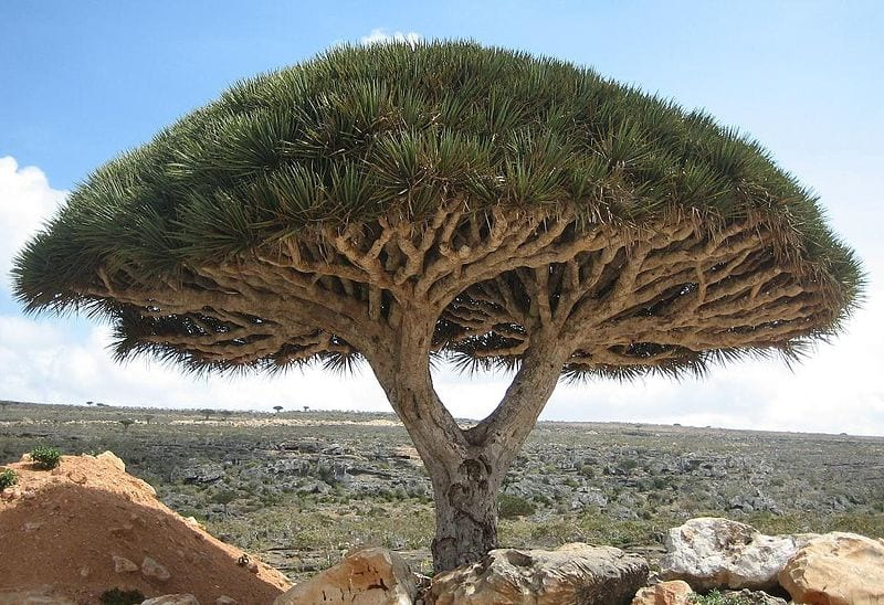 Most Amazing Trees In The World: Socotra Dragon Tree, Socotra, Yemen