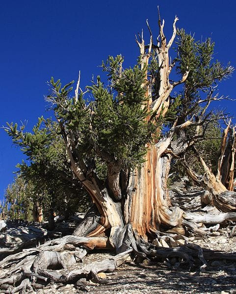 Most Amazing Trees In The World: Methuselah