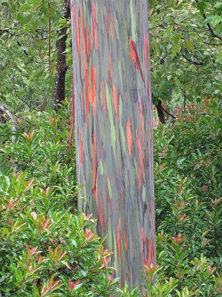 Most Amazing Trees In The World: Rainbow Eucalyptus trees, Maui, Hawaii