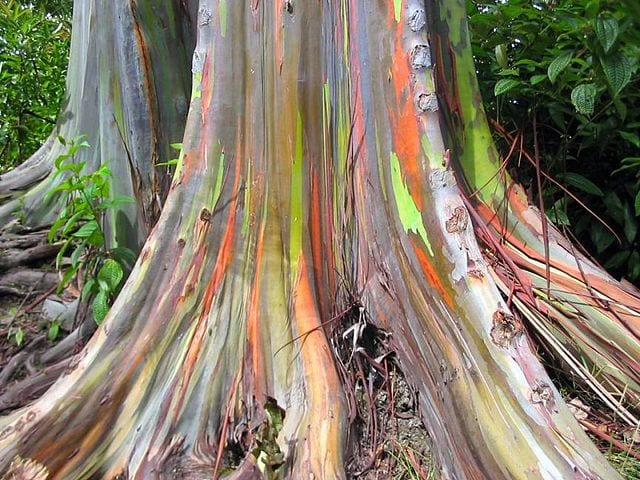 Most Amazing Trees In The World: Rainbow Eucalyptus trees, Maui, Hawaii