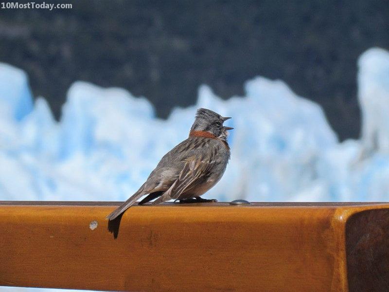 Bird in Perito Moreno, Argentina