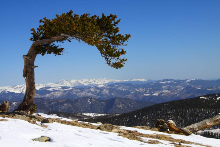 Oldest Still Living Trees