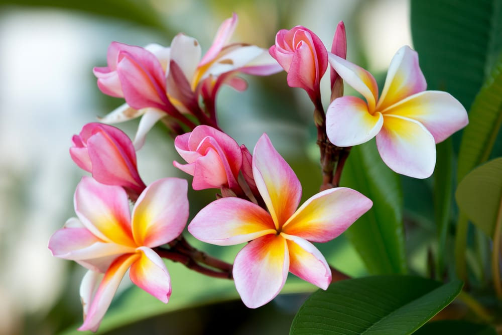 Most Fragrant Flowers: frangipani flower