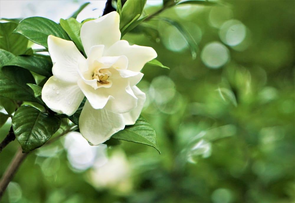 Sweet Alyssum Flower: Gardenia Flower