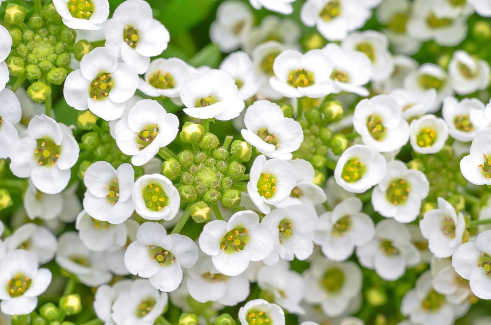Most Fragrant Flowers: sweet alyssum flower