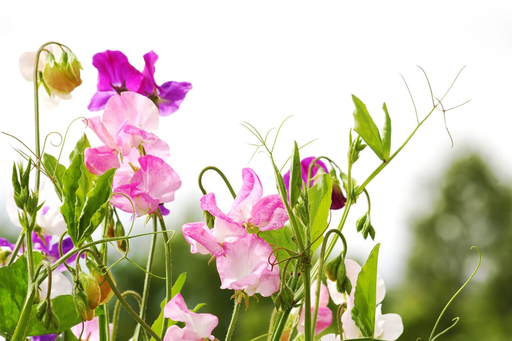 Sweet Alyssum Flower: sweet pea flower