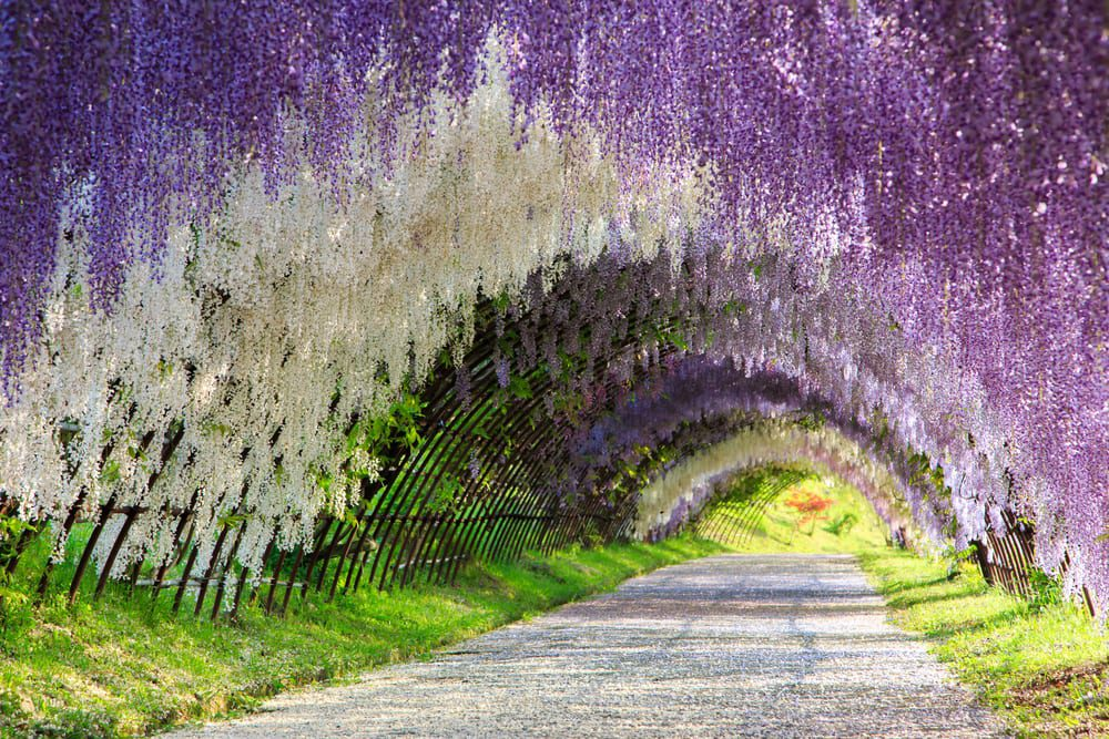 Most Fragrant Flowers: wisteria flower