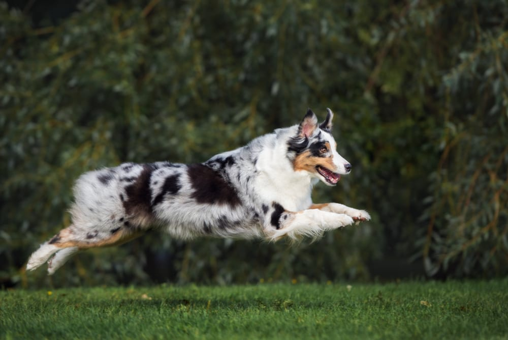 Most Playful Dog Breeds - australian shepherd