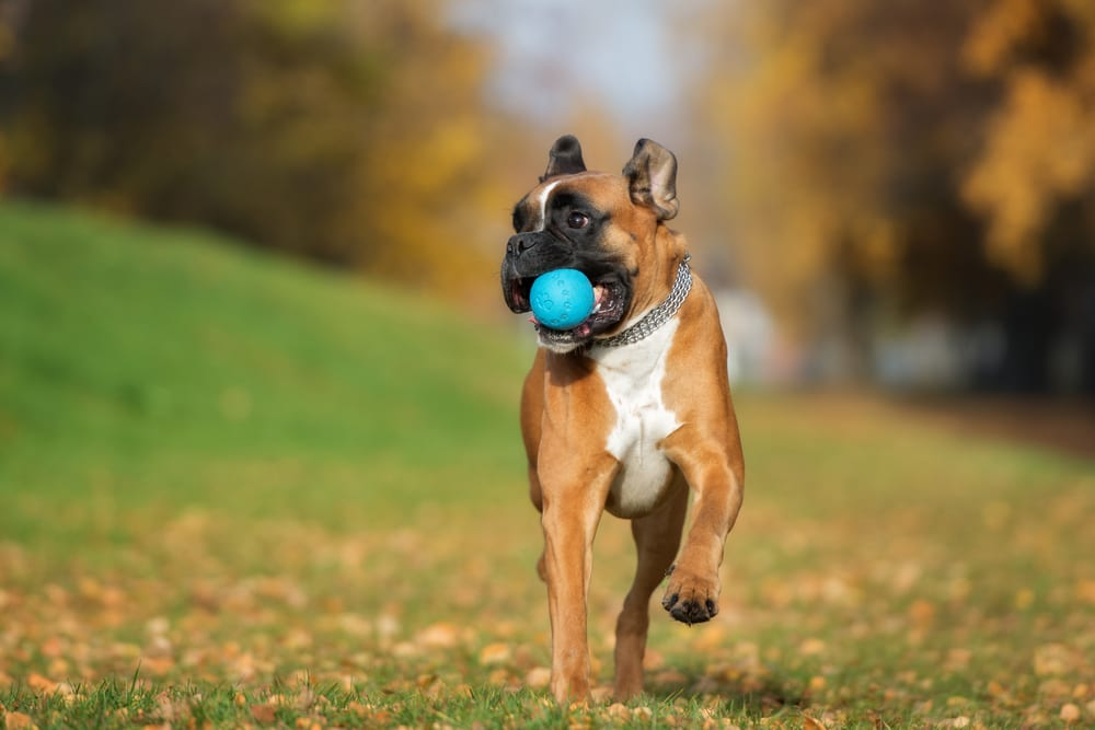 Most Playful Dog Breeds - boxer