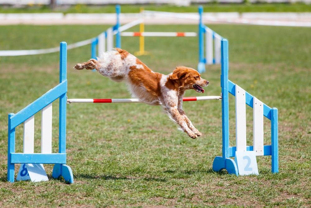 Most Playful Dog Breeds - britanny dog