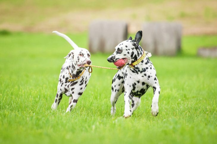 Most Playful Dog Breeds - dalmatian breed