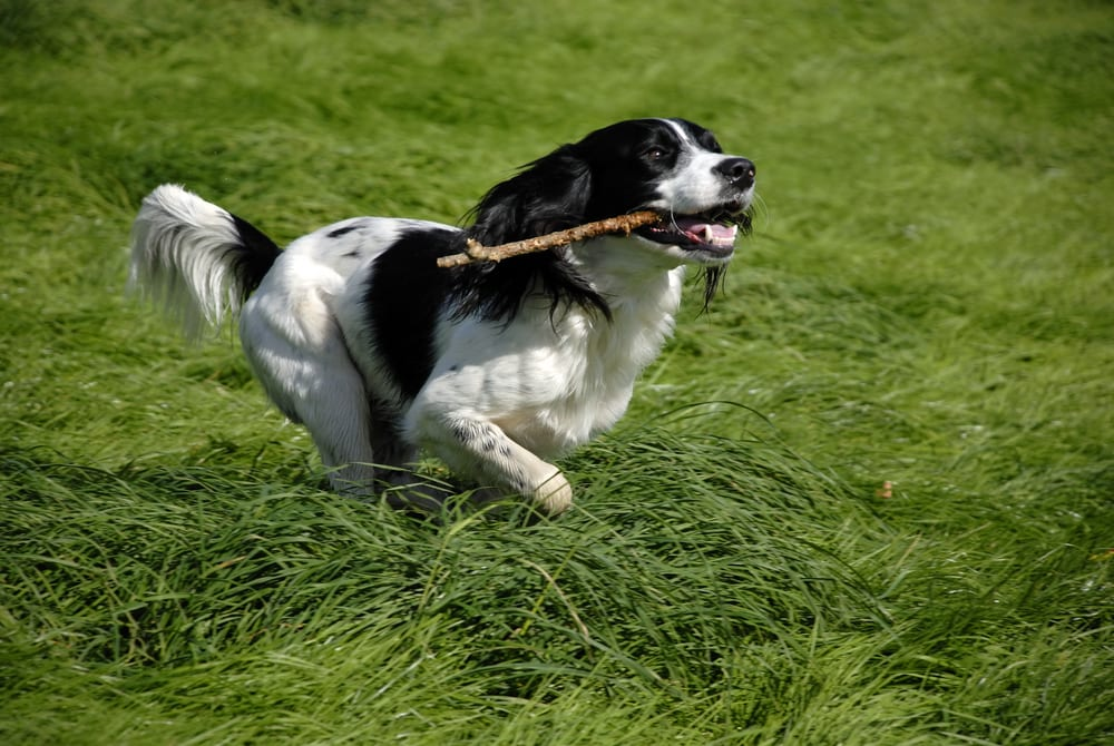 Most Playful Dog Breeds - english springer spaniel