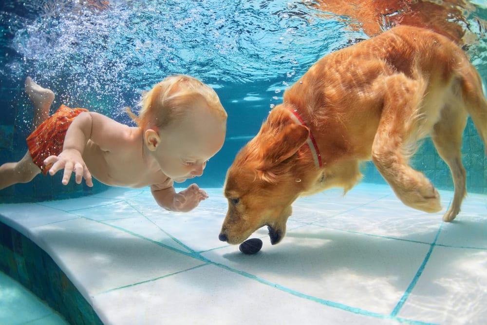 Most Playful Dog Breeds - golden labrador retriever