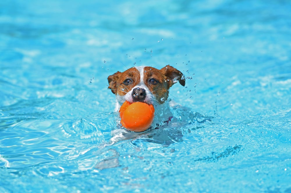Most Playful Dog Breeds - jack russell terrier