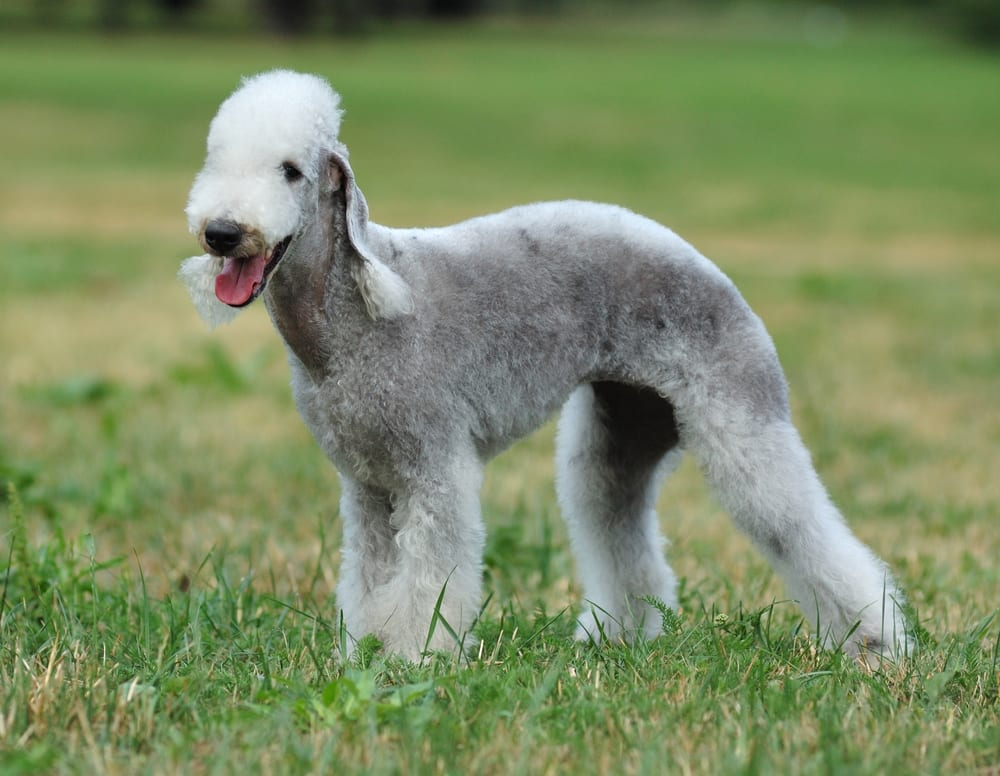 Most hilarious dog breeds - Bedlington Terrier