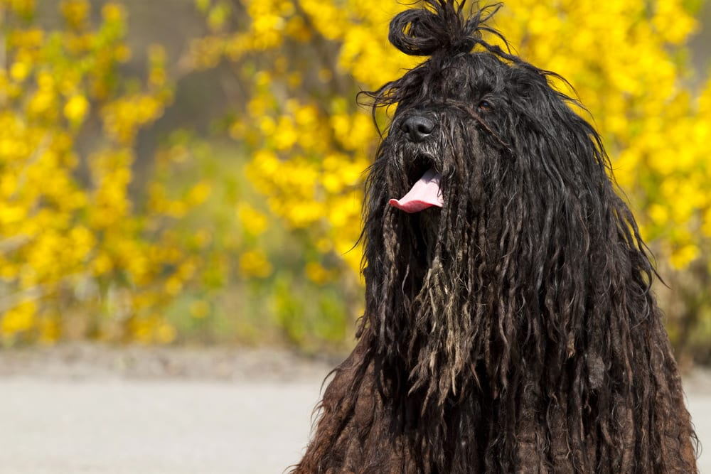 Most hilarious dog breeds - Bergamasco
