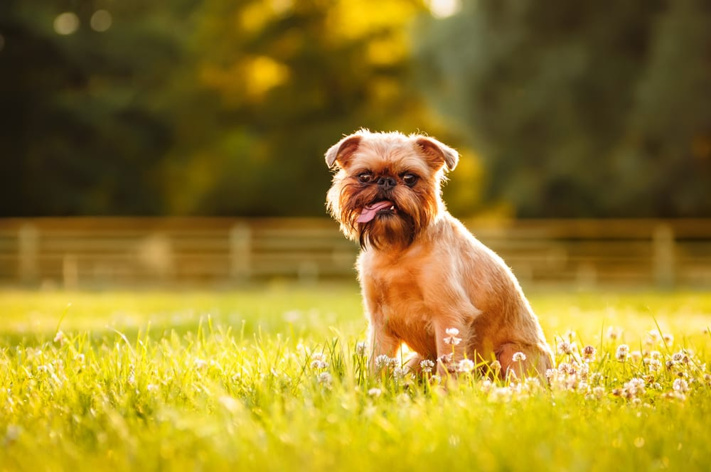 Most hilarious dog breeds - Brussels Griffon