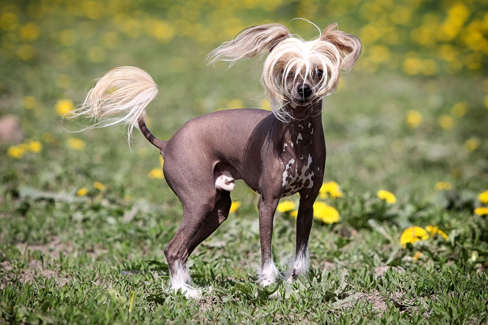 Most hilarious dog breeds - Chinese Crested