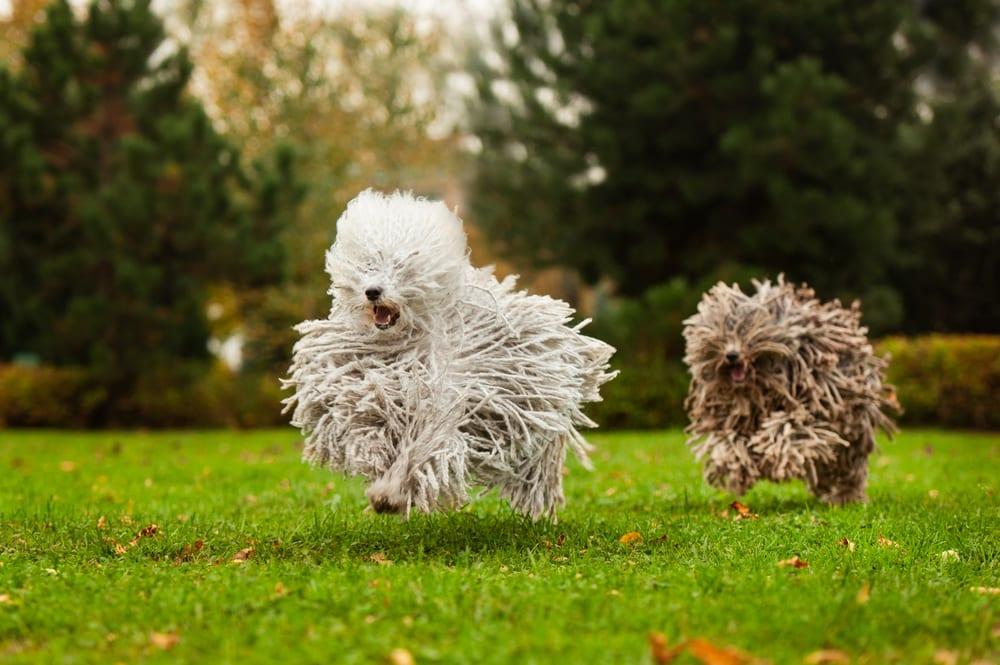 Most hilarious dog breeds - Puli