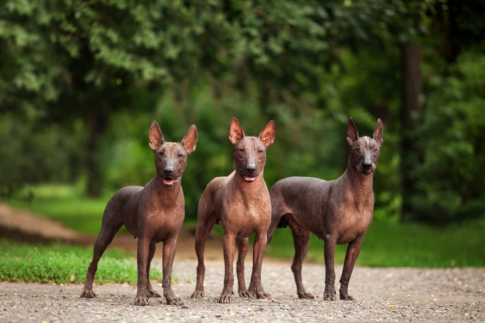 Most hilarious dog breeds - Xoloitzcuintli