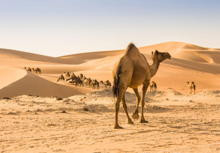 Animals that can live without food - camels