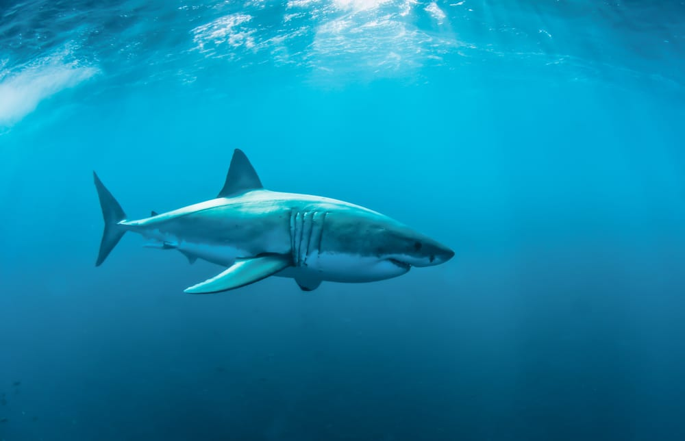Animals that can live without food - sharks