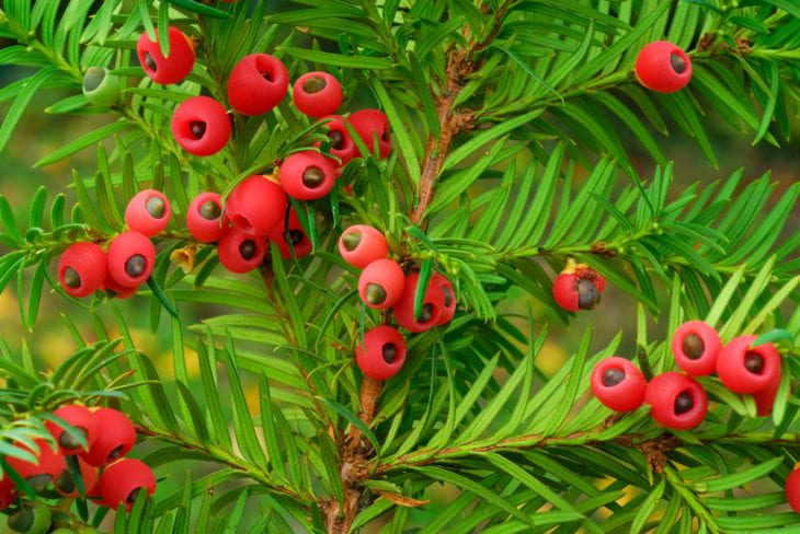 Most deadly fruits - Yew Berry